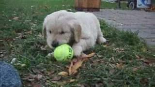 Heath Golden Retriever Puppies - 5 And A Half Weeks Old