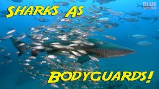 Bodyguard Sharks! | BLUE WORLD Excerpt