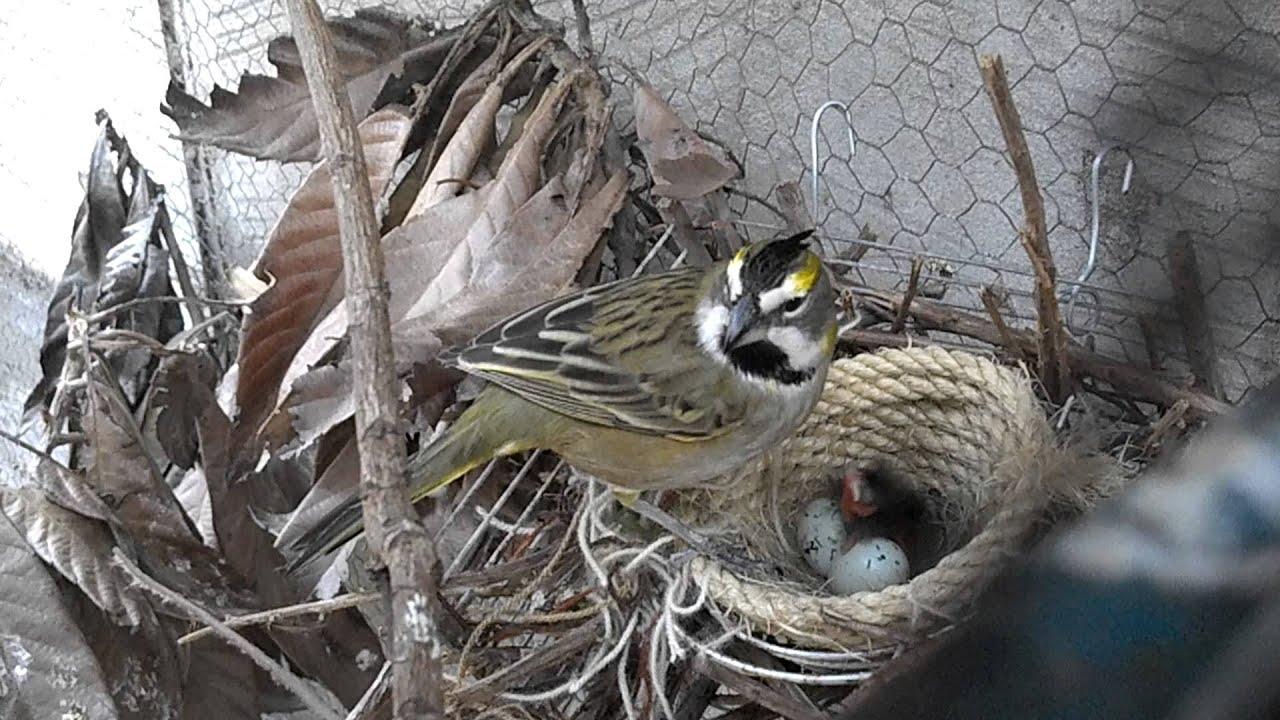Cria en cautiverio de cardenal amarillo 2012 1 youtube for Cria de peces en cautiverio