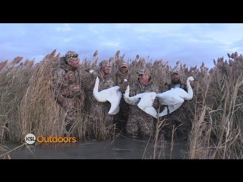 Swan Hunting On The Great Salt Lake