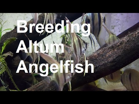 Breeding Altum Angelfish