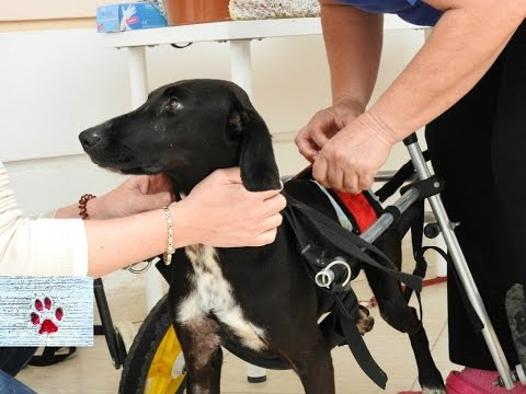 They broke her spine but not her spirit - Meet Xenia, a paralyzed dog