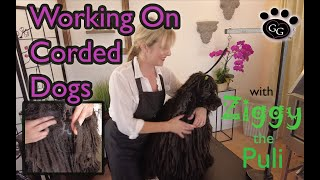 Corded Dog Maintenance  Working On A Puli  Gina's Grooming