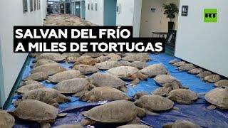 Rescatan a más de 4.000 tortugas marinas de morir de frío