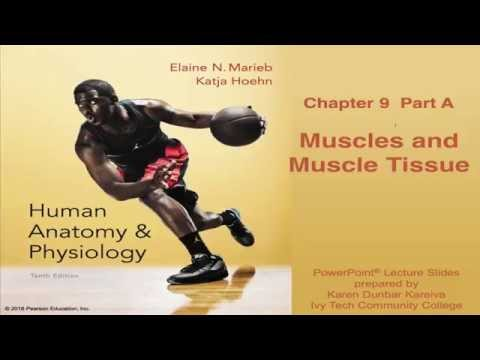 Anatomy & Physiology Chapter 9 Part A Lecture : Muscles and Muscle Tissue