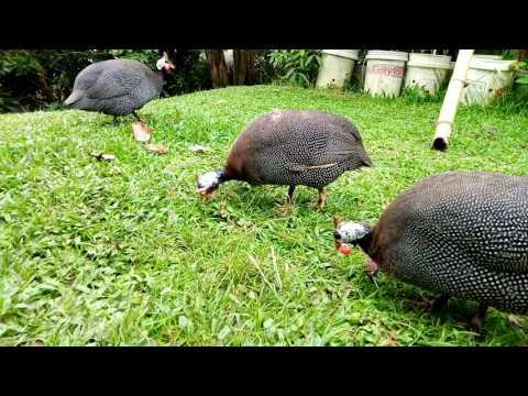 Perbedaan tanduk ayam mutiara jantan dan betina