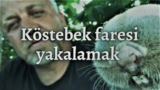 KÖSTEBEK YAKALAMAK (Talpidae) (Böcek Reis) mole catch