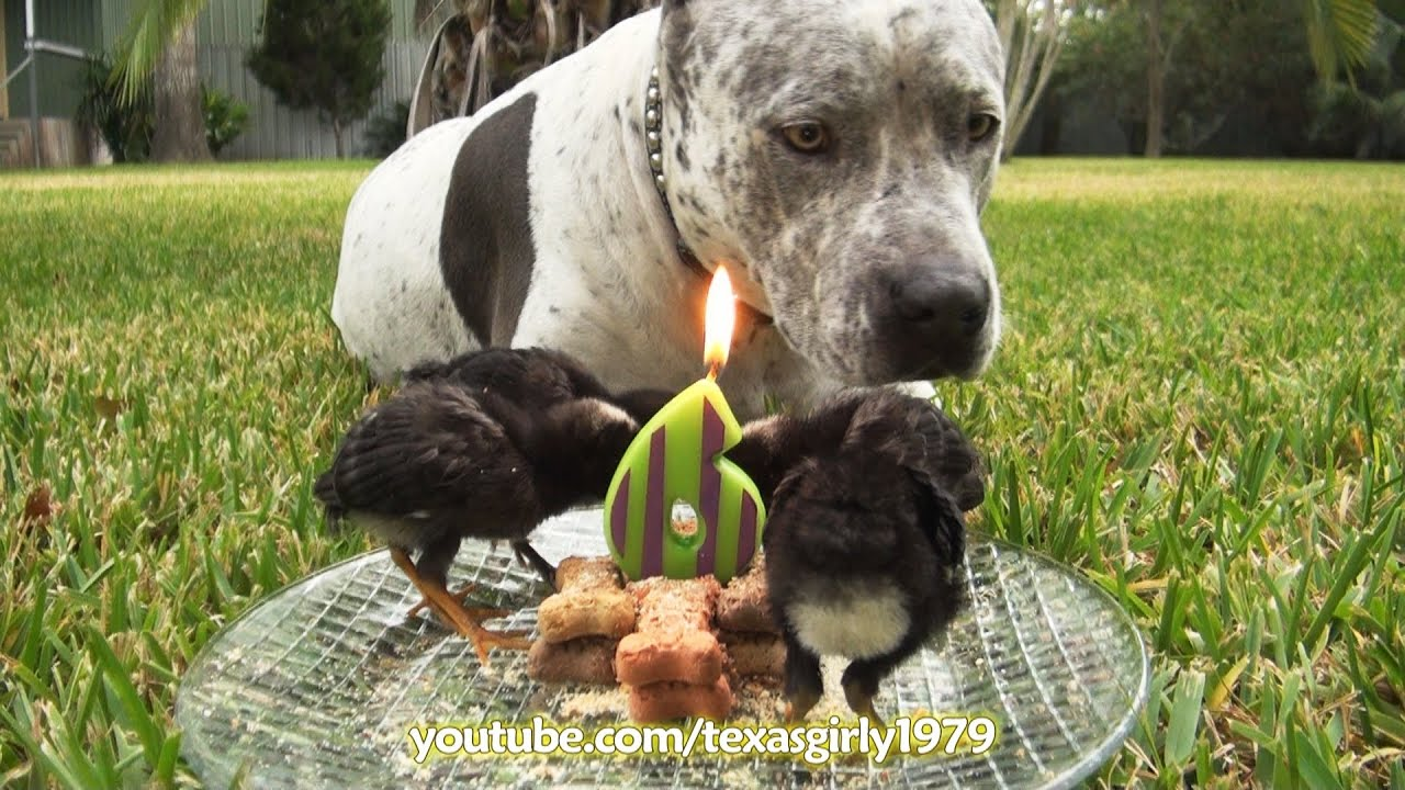 Pitbull Birthday Cake