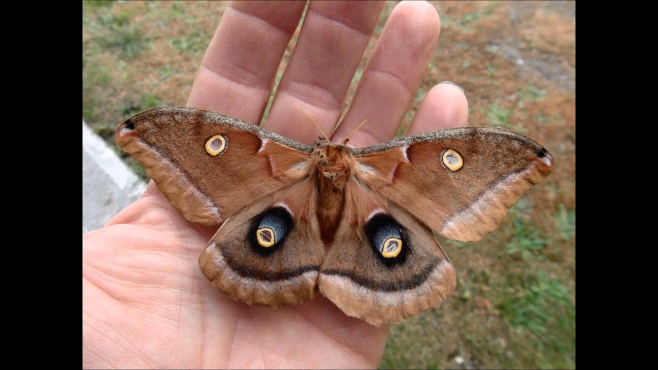 Antheraea polyphemus - YouTube