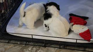 Coton Puppies For Sale - Jara Rose 10/19/20