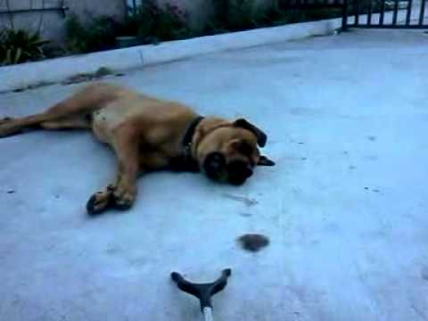 English mastweiler, Zoey!! - YouTube