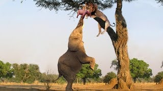 King Lion fight with Elephant & Crocodile - Buffalo & Elephant protect each other from Lion attacks