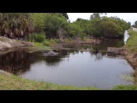 American Alligator and Anhinga Merritt Island Florida