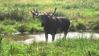 Tanzender Elch – Mad Moose, Grönåsens Elchpark, Schweden, 10.08.2015