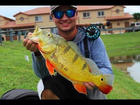 Fly Fishing For Big Peacock Bass (South Florida)