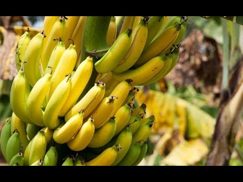 How to Grow Bananas in Containers – Complete Growing Guide