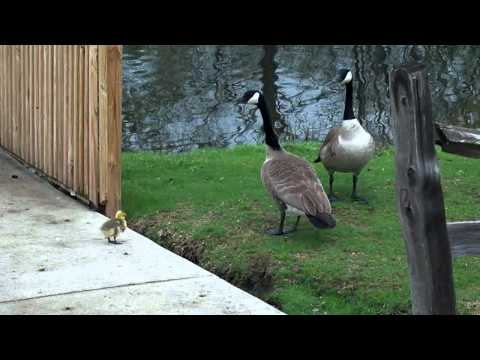Bird Fight!  Canada Geese vs. Swan (HD)