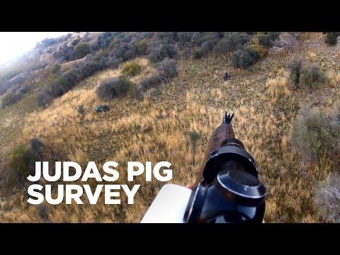 What's a Judas pig survey?