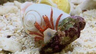 Einsiedlerkrebs Sebastian zieht im Nano Marinus Meerwasserbecken in ein neues Häuschen :)