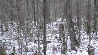 Загонная охота на лося с гончими видео