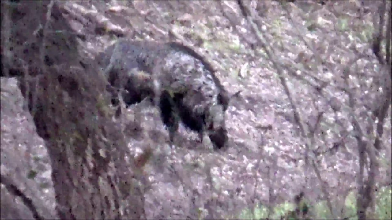 Hogs In The River Bottom Vs 223 Youtube