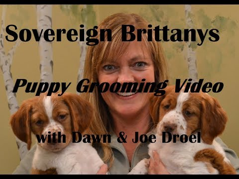 Grooming a Brittany puppy