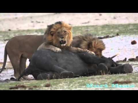 aslanların yavru fil avı !  vahşi yaşam tv