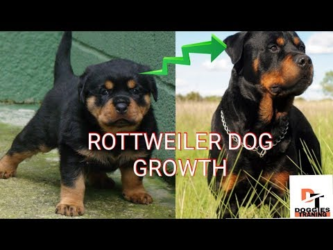 """ROTTWEILER GROWING UP - 6 Weeks to 1 Year [1080p HQ].by """" doggies traning"""