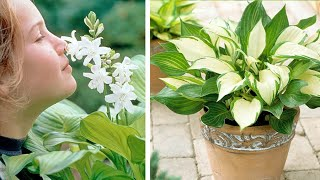 How to grow Hosta: Jeff Turner plants Hostas in pots