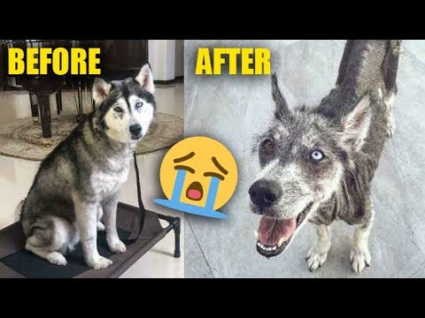 REALITY OF OWNING A SIBERIAN HUSKY IN INDIA | THE HIMALAYAN HUSKY