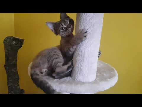 Little devon rex kitten enjoying his life