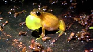 A small tree frog (Dendropsophus minutus A) calling at night