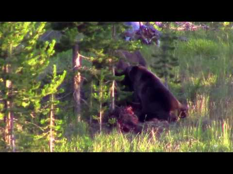 2 Grizzly Bears eating Elk carcass at Yellowstone National Park