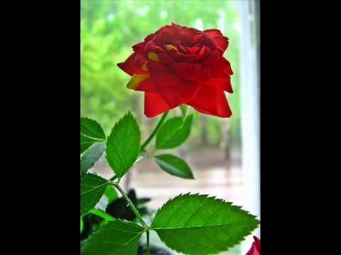 Домашние Красные розы .