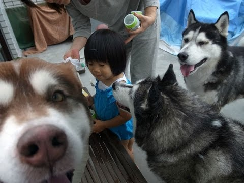 Siberian Husky.子供を守るハスキー犬アリス husky  dog which protects a child
