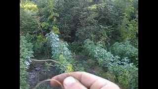 видео Почему сохнут ветки у смородины: что делать