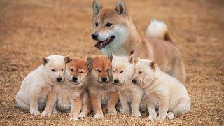 Japanese dog Shiba Inu giving birth like this!