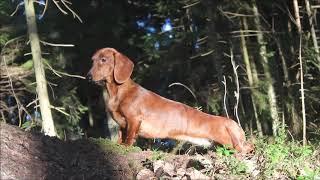 dachshund standard smoothhaired, brindle girl