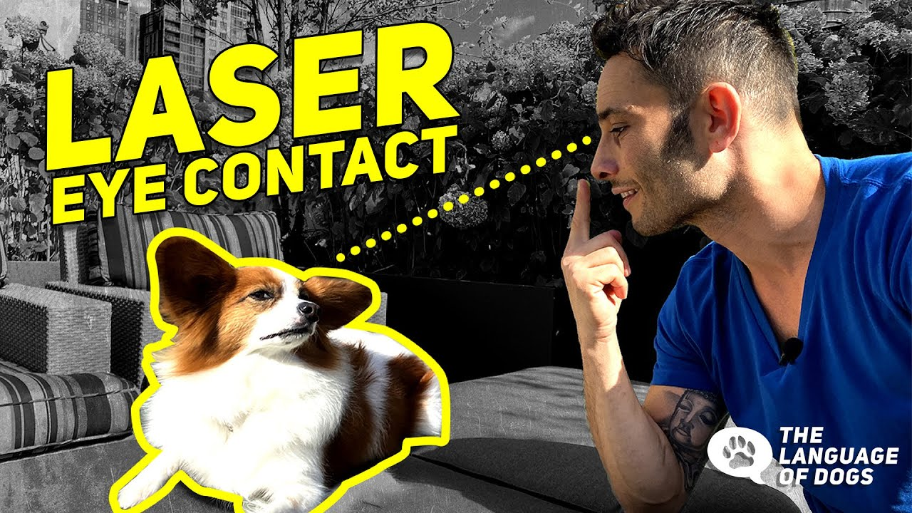 TEACHING DOGS PERFECT EYE CONTACT, LOOK, & PATIENCE w/ Dog Expert Justin Silver