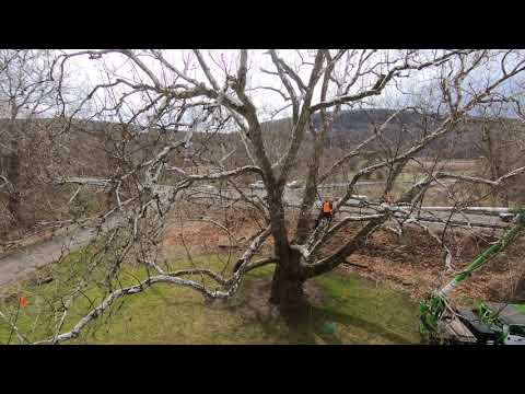 Arbor Day 2018 Treatment of Pinchot Sycamore in Connecticut