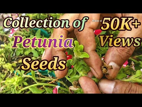 How To Collect And Petunia Seeds