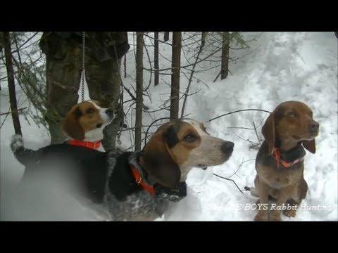 Beagle Boys Rabbit Hunting - Season Finally 2014