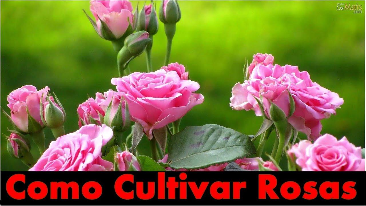 Extremamente Mondini Plantas: Como cultivar rosas - YouTube ZN77
