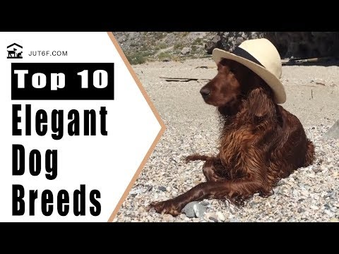 Most Beautiful Dogs - Top 10 Most Elegant Dog Breeds In The World