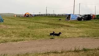 Собаки занимаются любовью а на фоне фурчит суслик!