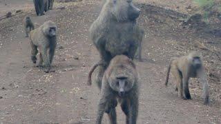 Wild Animal Mating - (HD)