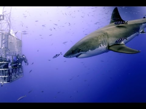 Great White Shark Scuba Diving Face to Face with 12 Footer!!! Over 500,000 views!