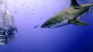 Great White Shark Scuba Diving Face to Face with 12 Footer!!!