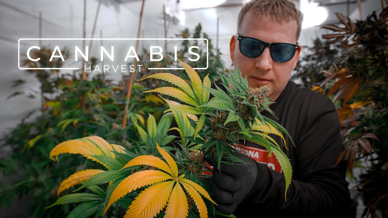 Download Growing Award-Winning Cannabis in a Residential Garage | PARAGRAPHIC