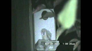 Yori Ranches Owlet falls from box